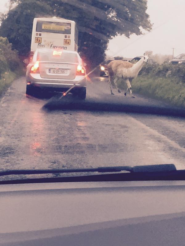 a llama spotted in Offaly