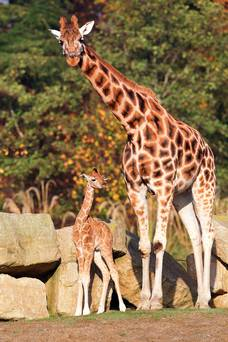 Rothschild Giraffe cub